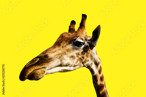 portrait of a giraffe on a yellow background © yulia-zl18
