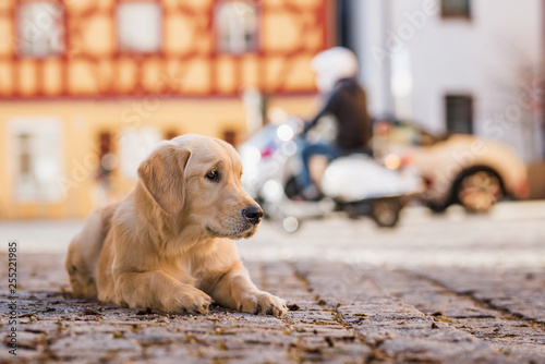 obraz lub plakat Young golden retriever in the city