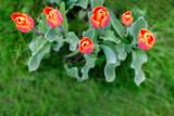 Fototapeta Tulips - wiosenne kwiaty © ludzik