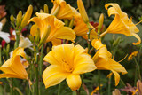 yellow group daylily