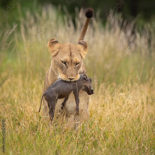 Lioness with warthog piglet as prey