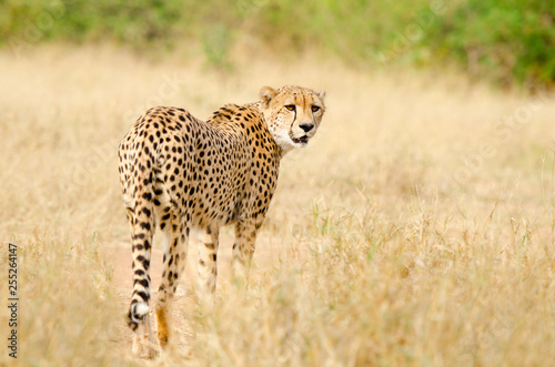 Cheetah Walking In A South Africa Savannah Kruger National