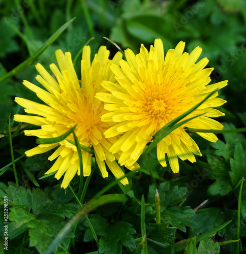 Close-up of two yellow dandelions on the green grass background.