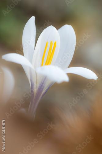 Fiore di croco (Crocus vernus)