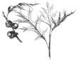 Pin oak (Quercus palustris) / vintage illustration from Meyers Konversations-Lexikon 1897 - 255347782