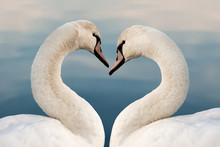 "Постер, картина, фотообои ""Close up of two swans in the shape of a heart. Love concept, valentine greeting card."""