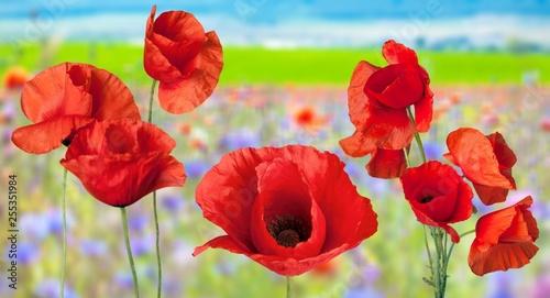 Poppy. - 255351984