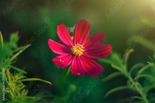 cosmos flower blooming on green background in garden - 255360303