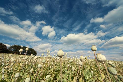 Ripe Field Poppy with Blue Sky on Background. Opium Poppyheads Meadow. - 255390797