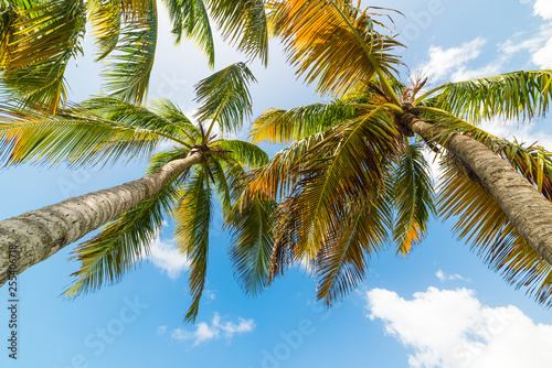 Coconut palm trees seen from below in Guadeloupe