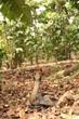 Brown forest cobra in banana plantation. A highly venomous species showing warning behavior.