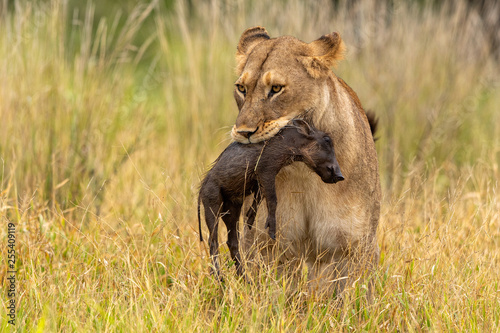 Lioness with warthog piglet as prey