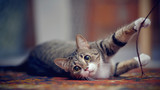 Striped cat with white paws, plays on a carpet