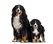 Leinwanddruck Bild - Bernese Mountain Dog, 8 years old and 3 months old, sitting in f