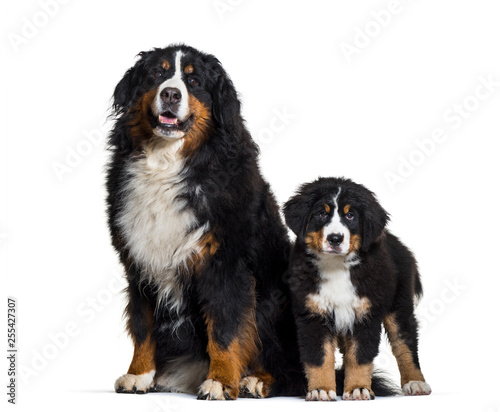 Leinwanddruck Bild Bernese Mountain Dog, 8 years old and 3 months old, sitting in f