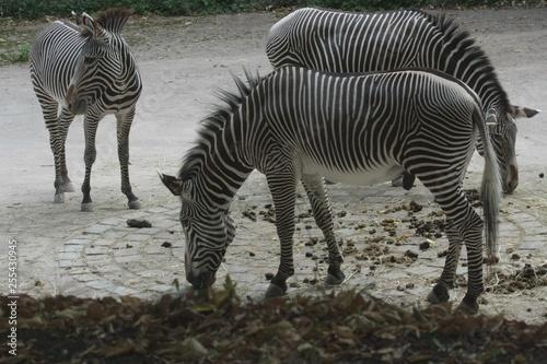 zebra - 255430945