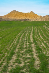 Cereal plantation in the Bardenas with the desert zone in the background, Navarra © poliki