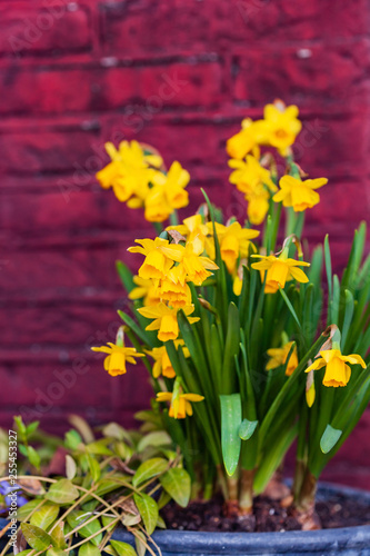 bright narcissus flowers