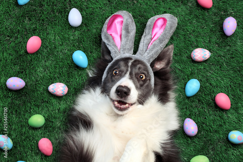 fototapeta na ścianę Happy dog with bunny ears surrounded by Easter eggs