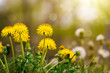 Yellow dandelions in sunny meadow