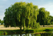 Weeping willow tree, England, UK