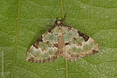 Colostygia pectinataria (KNOCH, 1781) Prachtgrüner Bindenspanner DE, NRW, Solingen, Ohligser Heide 27.05.2016 - 255520936
