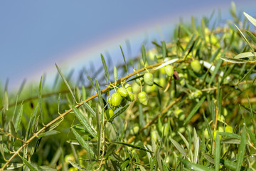 Olive tree and rainbow