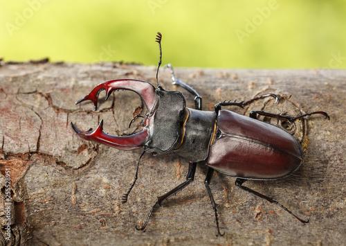 Stag Beetle on tree