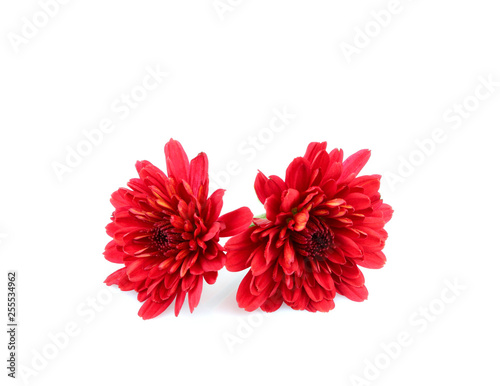 Red dahlias flowers isolated.
