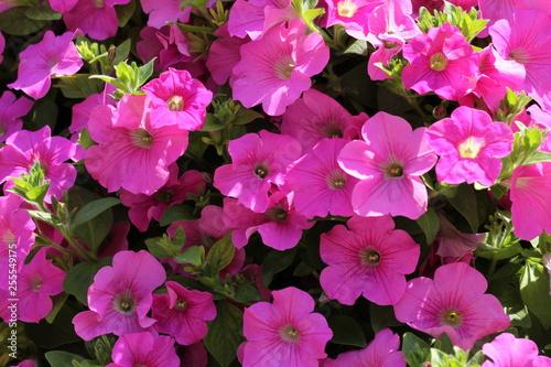 pink flowers in the garden - 255549175