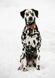 Dalmatian Dog In The Snow