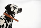 Dalmatian Dog, Close-up