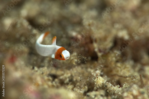 obraz PCV Juvenile Spotted parrotfish (Cetoscarus ocellatus). Picture was taken in Ambon, Indonesia