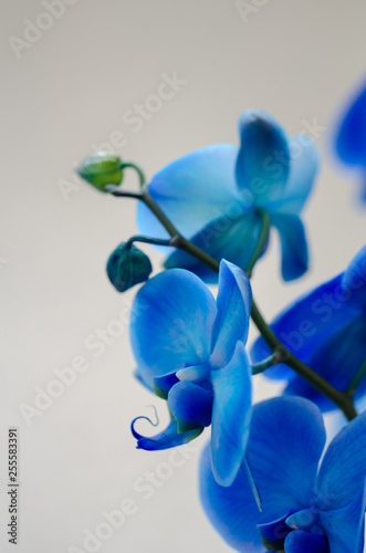 Blue flower orchid on light background - 255583391