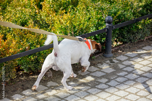 Leinwanddruck Bild Young male jack russell terrier dog feel some smell on the street