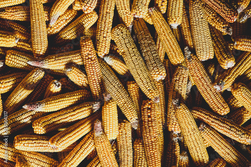 yellow corns after harvest lying down on a floor. © Masson
