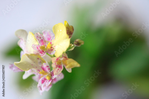Beautiful closeup of an orchid White Oncidium Twinkle mini orchid. - 255607987