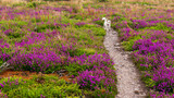 Scenic hiking path through beautiful purple heather flowers on an Irish hill with a cute little white dog running. Wildflowers on Howth Head, Co. Dublin, Ireland on a lovely summer day.
