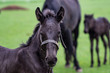 Foals in the meadow. Black kladrubian horse
