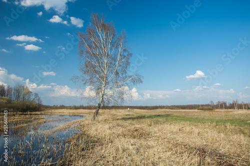 Birch tree growing in a wet meadow, horizon and white clouds on blue sky - 255648163