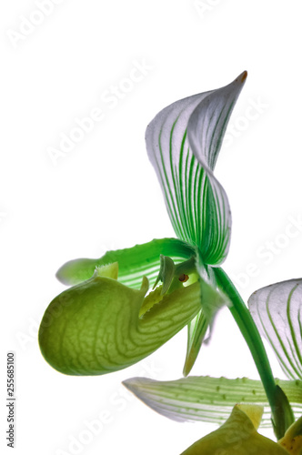 Closeup nature of Paphiopedilum collosum, Yellow and green orchid called Lady's slipper orchid in the garden under sunlight , using as a background or wallpaper - 255685100