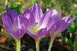 Blooming Colchicum flowers close-up