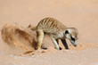 A meerkat (Suricata suricatta) foraging actively in natural habitat, Kalahari desert, South Africa.