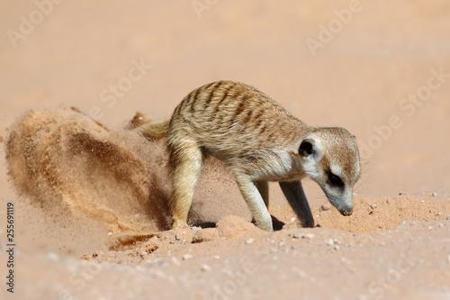 A meerkat (Suricata suricatta) foraging actively in natural habitat, Kalahari desert, South Africa.