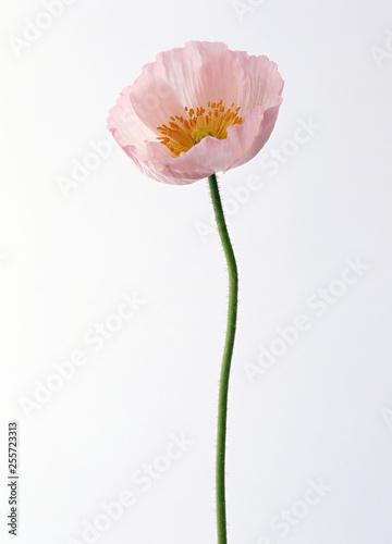 Light pink poppy flower on white background - 255723313
