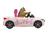 The cat drives a car painted with beautiful pink flowers. White background. Isolated.