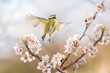 Leinwanddruck Bild - Der Singvogel Blaumeise an einer blühenden Blutpflaume zeigt, dass endlich Frühling ist