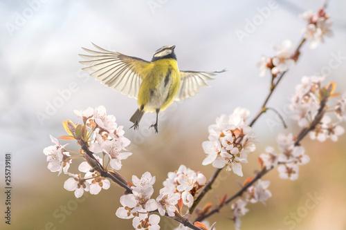 Leinwanddruck Bild Der Singvogel Blaumeise an einer blühenden Blutpflaume zeigt, dass endlich Frühling ist