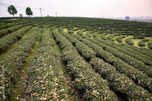 fototapeta na ścianę Early morning in the summer time at Tea plantation in Chiang Rai province Thailand. Most of tea grown here are Oolong tea.