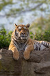 Majestic tiger running wild